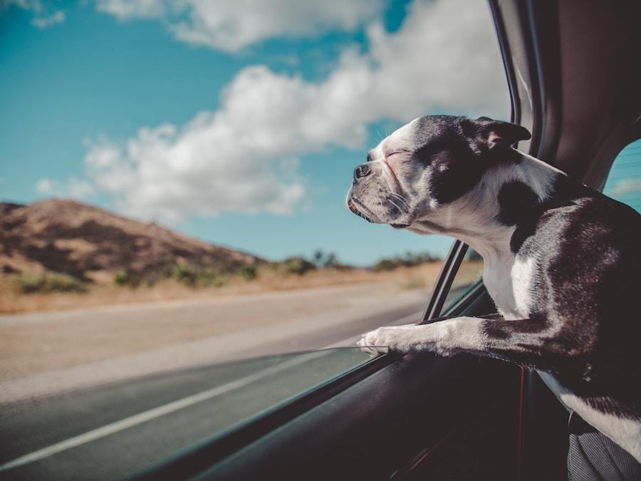 Dog in car roadtrip